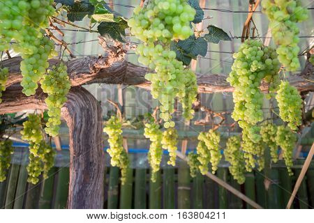 Green grapes hanging on tree display in food festival stock photo