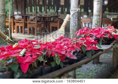 Beautiful red Poinsettia christmas flower stock photo