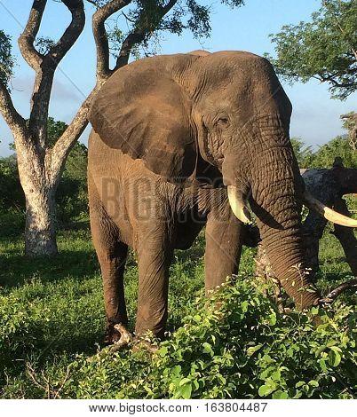 Majestic Elephant up close and personal  during a game drive at the Zambezi National Park Zimbabwe