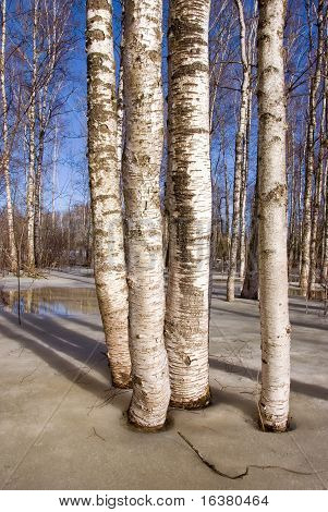 Early Spring In The Birches Grove