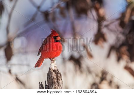 Northern Red Cardinal bird sits on an old fence post