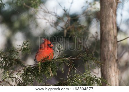 Male northern cardinal sits on gree cedar branches
