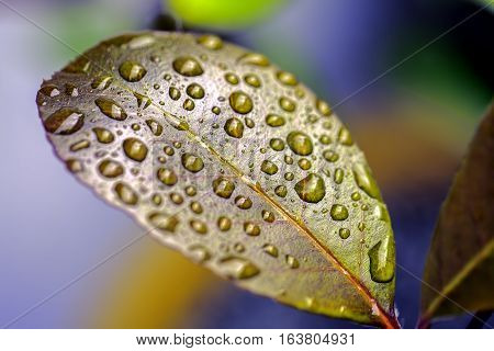 Colorful image of individual rain water droplets resting on the surface of a waxy leaf. A metaphor for Zen philosophy and beauty in nature.