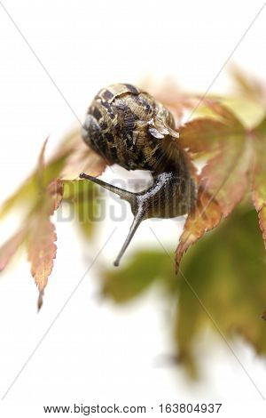 Garden snail on autumn leaves. Autumn colors and a soft aesthetic against a white background