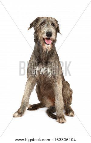 Two years old purebred Irish wolfhound dog sitting on a white background