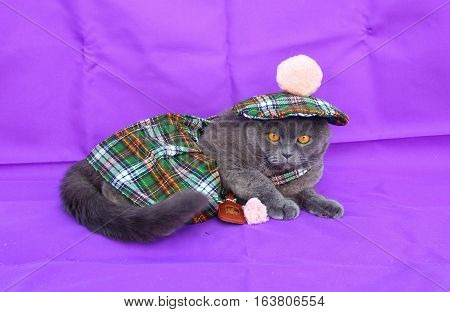 Gray Scottish fold cat Scottish costume for men, green plaid, beret with POM-POM skirt with a small purse on her belt, lay on a purple background