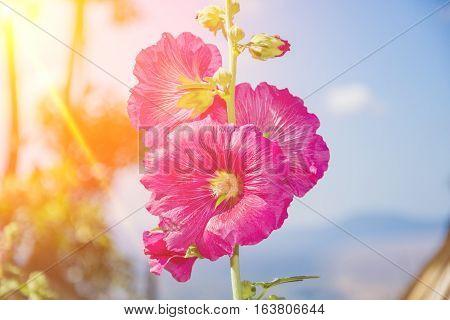 pink hollyhock flower beautiful in garden blur background