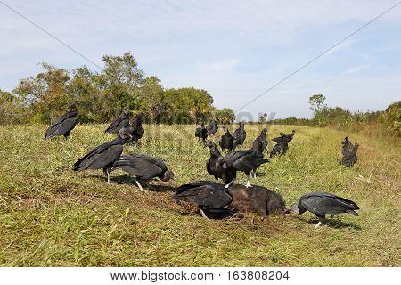 Black Vultures Feeding On A Dead Wild Boar - Florida