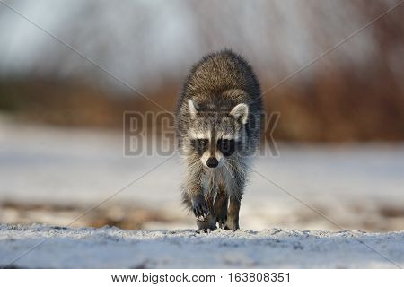Raccoon Crossing A Sandy Beach - St. Petersburg, Florida