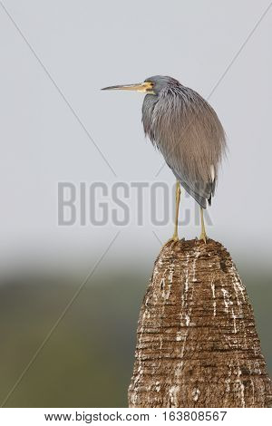 Tricolored Heron Perched On A Palm Tree Stump - Florida