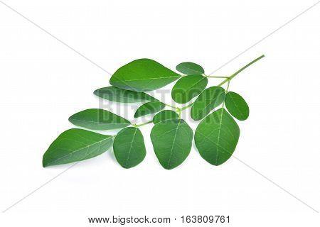 Moringa leaves isolate on the white background
