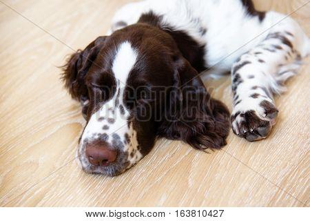 English Springer Spaniel puppy dog lying on the floor