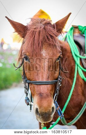Close up head of brown horse with halter.