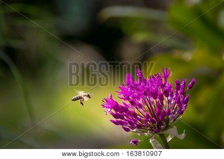 Honeybee, ornamental, flower, bee, summer, may, garden, spring, allium