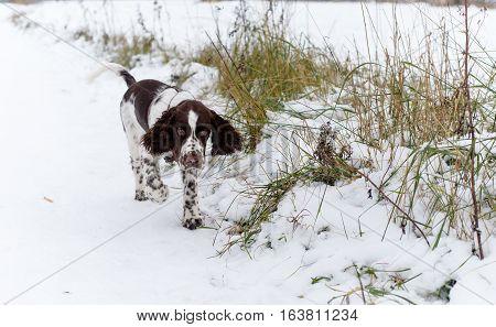 English Springer Spaniel cute puppy. Hunting dog