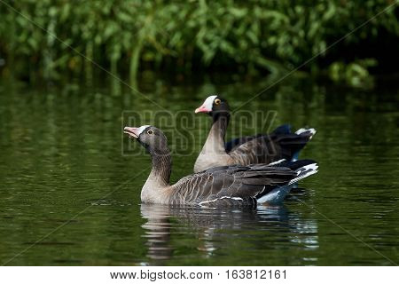 Lesser white-fronted geese swimming in water in their habitat