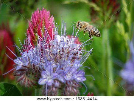 August, bee, garden, clover, insect, phacelia, summer, honeybee