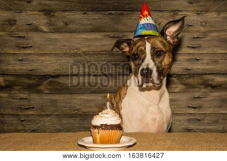 A cute dog about to eat her cupcake at her birthday party.