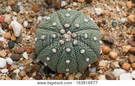 Cactaceae: Astrophytum asterias in the garden, Thailand.