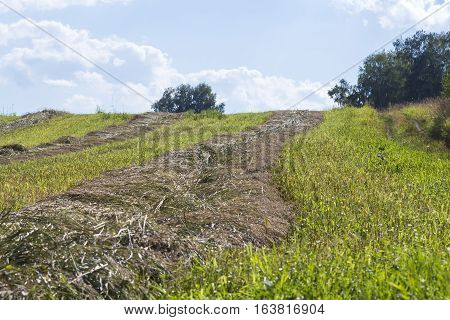The mown green grass on the field. Seeds of forage for cows. Novosibirsk oblast Siberia Russia