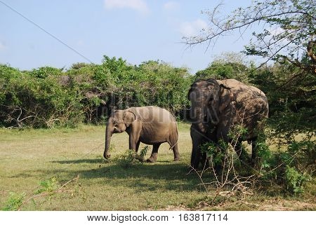 Photo of asian elapahnt cow with two calfs in sri lanka