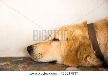 The Golden Retriever is sleeping seem like very happy. Dog sepia tone.