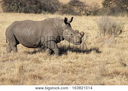 White rhinoceros [Ceratotherium simum] with shortened horn
