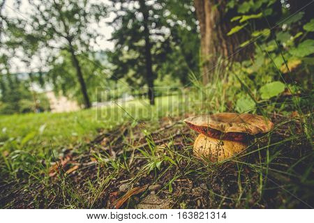 cep growing in the forest close up (Boletus edulis)
