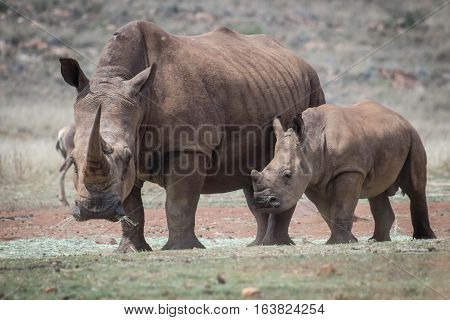 White rhino and calf at Rhino & Lion park