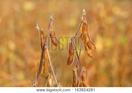 Close up photo of ripe soybean plant