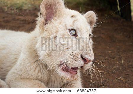 White bengal tiger cub [Panthera tigris tigris]