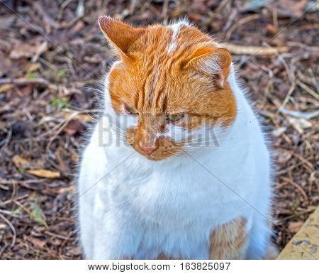 the big beautiful ginger cat in autumn