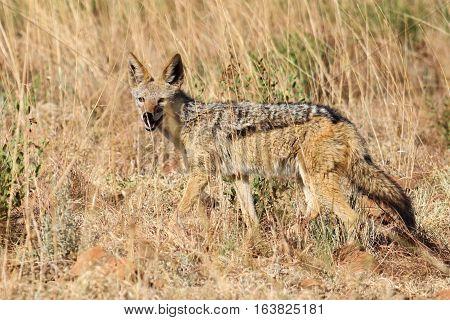 Black backed jackal [Canis mesomelas] running in the long grass