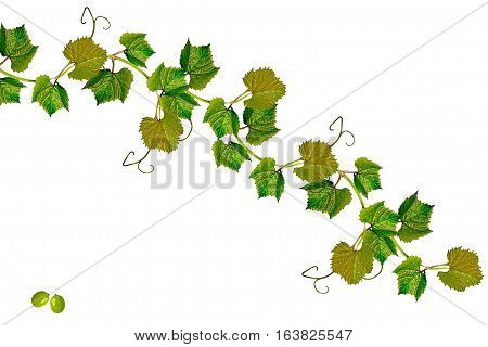 The branch of grapes isolated on white background.