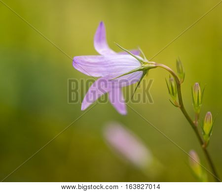 meadow bellflower beauty in purple with a blurry background