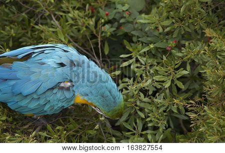 Close up of a blue and yellow macaw eating berries
