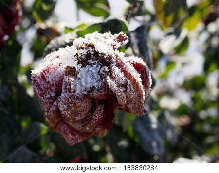 Detailed ice crystals formed on a dead red rose on a winter day in Central Oregon.