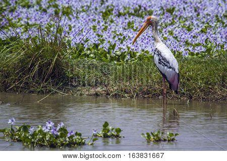 Painted stork in Arugam bay lagoon, Sri Lanka ; specie Mycteria leucocephala family of Ciconiidae