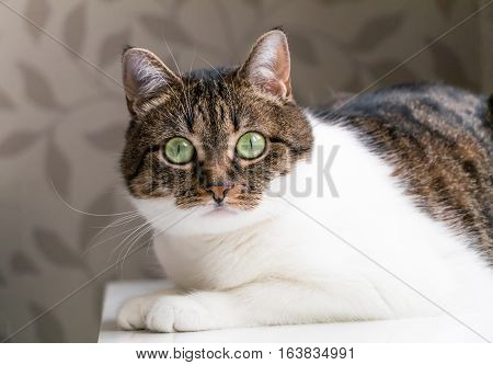 Beautiful portrait of a tabby cat lying on table and staring into the camera. Funny colored cat with striped head and back and white chest looking curiously with its eyes wide open