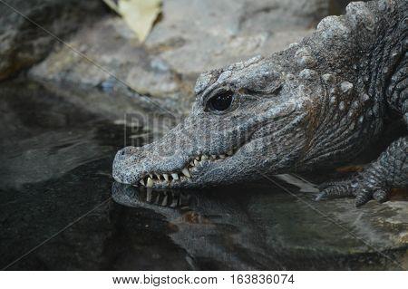 Close up of an adult dwarf crocodile