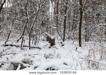 Winter landscape with the snow-covered trees and wild thicket