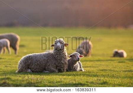 single adorable baby lamb, with its proud mother at sunset