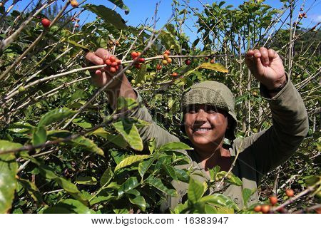 Woman picking coffee beans in sun