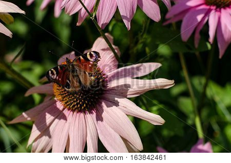 Butterfly Paisley On The Flower Of Echinacea