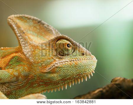 Head of young Yemen chameleon - Chameleo calyptratus