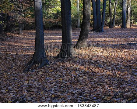 Line of Trees in Fall- Fallen leaves and a line of trees in autumn.
