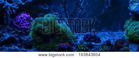 Gorgonaria Euplexaura, Sea Fan.Clavularia. Clavularia. Zoanthus. Reef tank, marine aquarium. Blue aquarium full of plants. Tank filled with water for keeping live underwater animals. Night view.