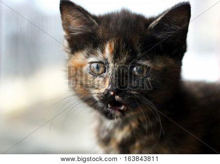 A tortoiseshell kitten miaowing in front of a window