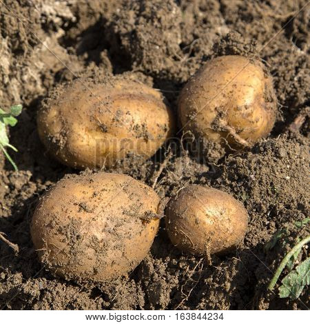 Harvesting organic potatoes - shallow depth of field.