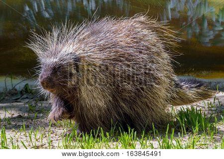 Tree Porcupine Walking